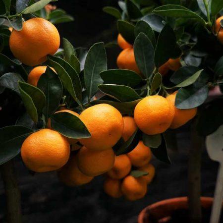 Fresh oranges on a farm