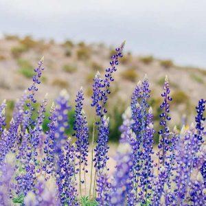 A field of bluebonnets