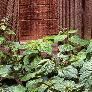 a patchouli plant against a mahogany wood fence