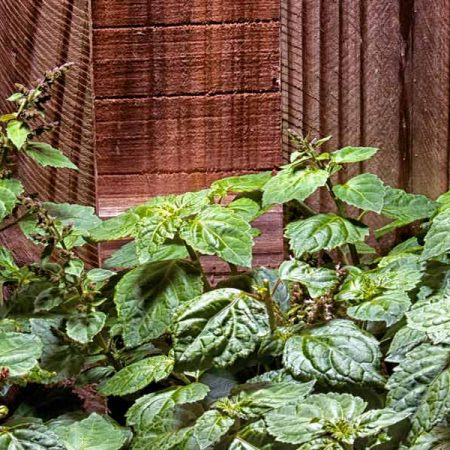 a patchouli plant against a mahogany wood fence